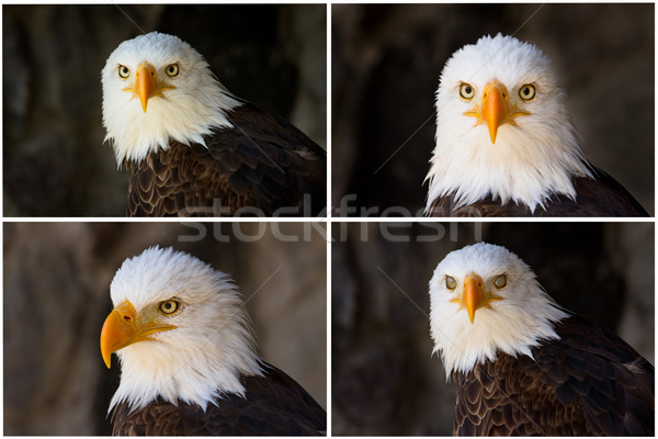 Portrait of a bald eagle Stock photo © pxhidalgo