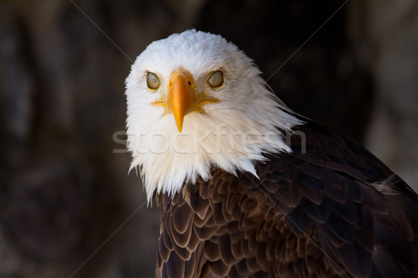 Portrait of a bald eagle with eyelids closed Stock photo © pxhidalgo