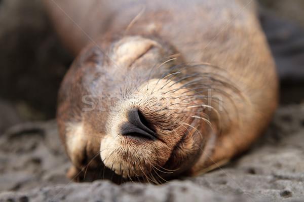 Baby sea lion sleeping in the Galapagos Islands Stock photo © pxhidalgo