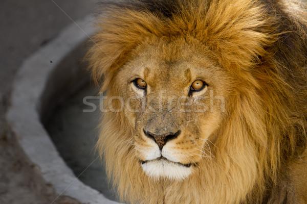 Majestic lion male with golden mane Close up Stock photo © pxhidalgo