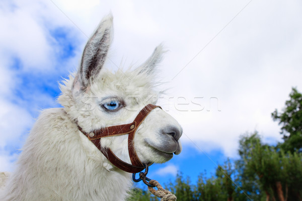 White, sad furry lama glama with long eyelashes Stock photo © pxhidalgo