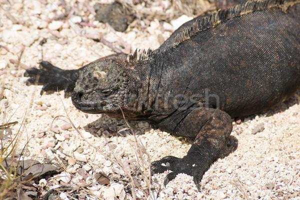 Marine iguana on Galapagos islands Stock photo © pxhidalgo