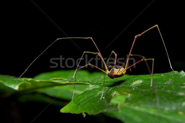 Giant long legged spider on green leaf Stock photo © pxhidalgo
