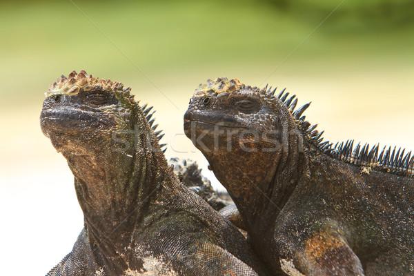 Giant Iguanas with Natural Background Stock photo © pxhidalgo