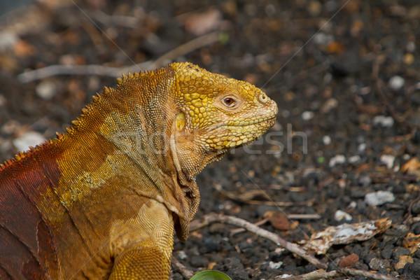 Leguaan eilanden oranje groenten Stockfoto © pxhidalgo