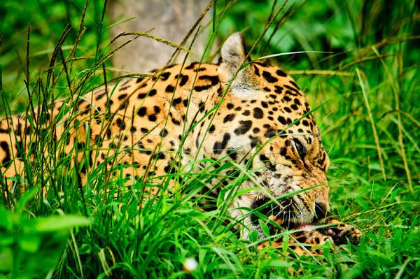 Jaguár eszik hús arc állat gyors Stock fotó © pxhidalgo