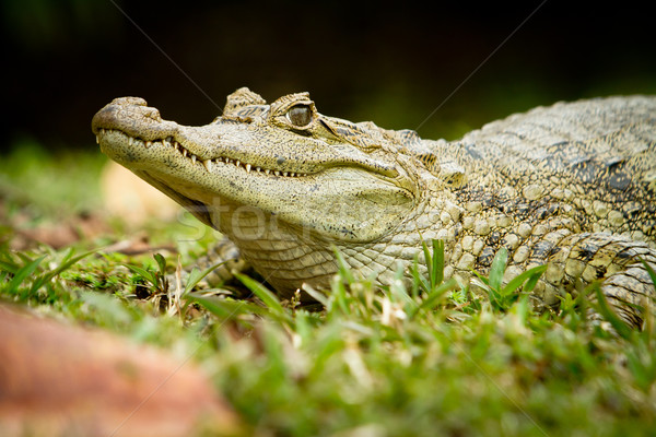 Crocodile terres eau accent oeil bouche Photo stock © pxhidalgo