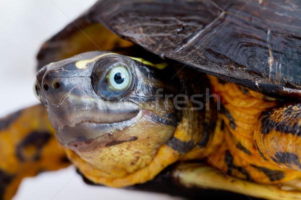 Turtle close up Stock photo © pxhidalgo