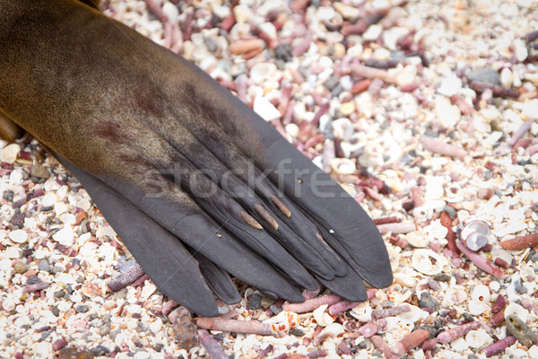 Close up of a Sea Lion's paw in the wild Stock photo © pxhidalgo