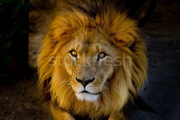 Stock photo: Close-up portrait of a young lion