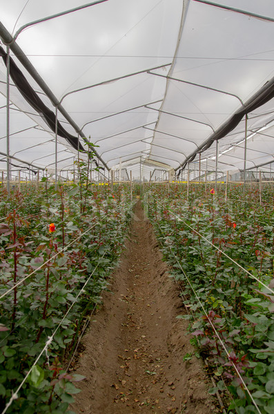 Flower cultivation with roses in a greenhouse Stock photo © pxhidalgo