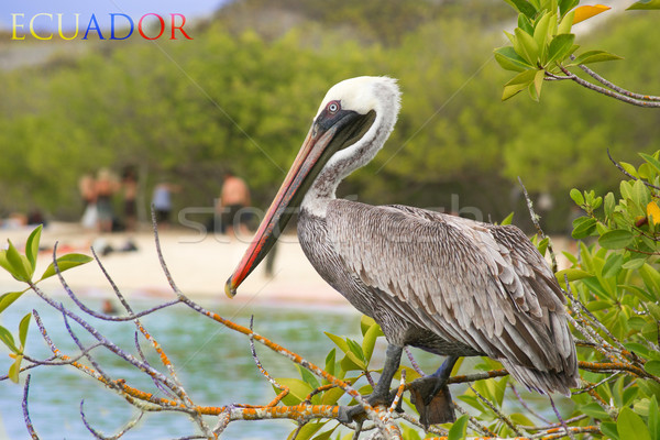 Brown pelican on wood post with wild background Stock photo © pxhidalgo