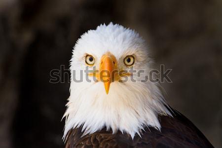 Portrait of a bald eagle close up side view Stock photo © pxhidalgo