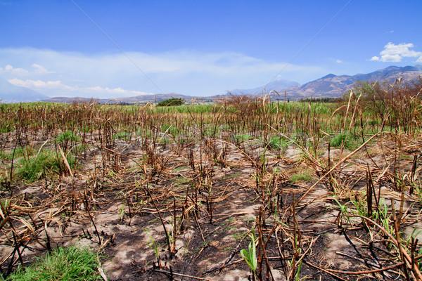 Crop burning , sugar cane fire aftermath Stock photo © pxhidalgo
