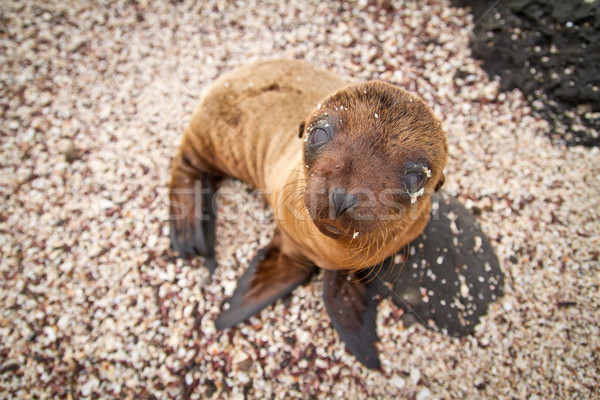 Baby sea lion in the Galapagos Islands staring at you Stock photo © pxhidalgo