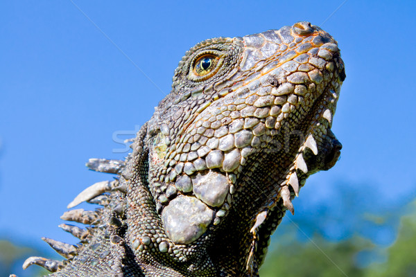 Land Iguana close up head with blue skyes Stock photo © pxhidalgo