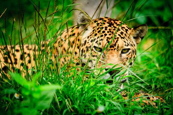 Jaguar wildlife park Ecuador ogen staren Stockfoto © pxhidalgo
