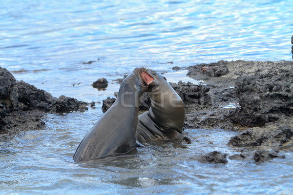 Galapagos sea lion playing or fighting at the beach Stock photo © pxhidalgo