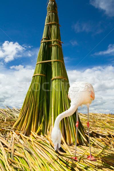 White Flamingo on the islands of Uros Peru Stock photo © pxhidalgo
