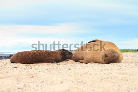 Stock photo: Baby Sea Lion breast feeding with mother