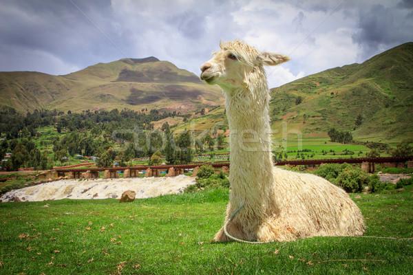 Portrait of a lama on farm. Stock photo © pxhidalgo