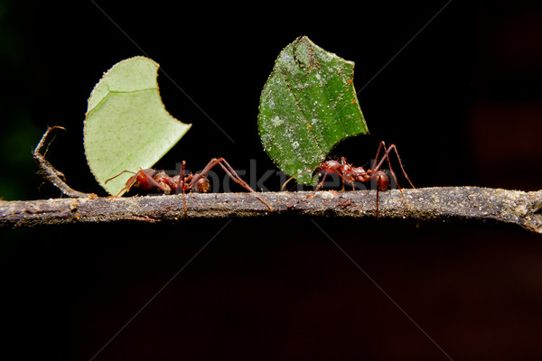 Leaf cutter ants, carrying leaf, black background. Stock photo © pxhidalgo