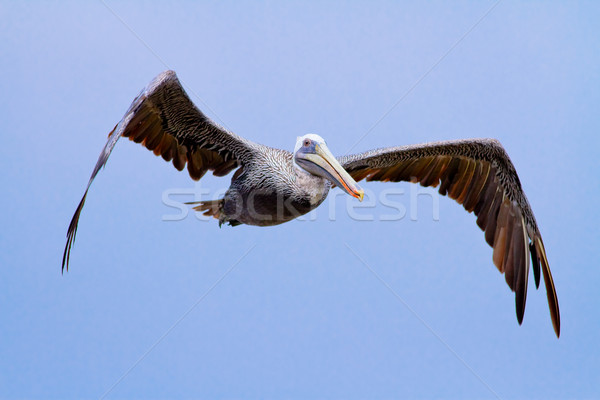 The brown Pelican fly over Stock photo © pxhidalgo