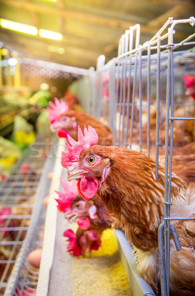 Poultry farm hens and eggs, aviary Stock photo © pxhidalgo