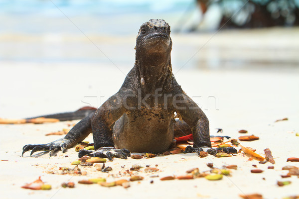 Iguana on the beach Stock photo © pxhidalgo