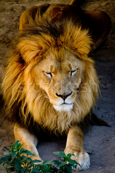 the lion sleeps tonight Stock photo © pxhidalgo
