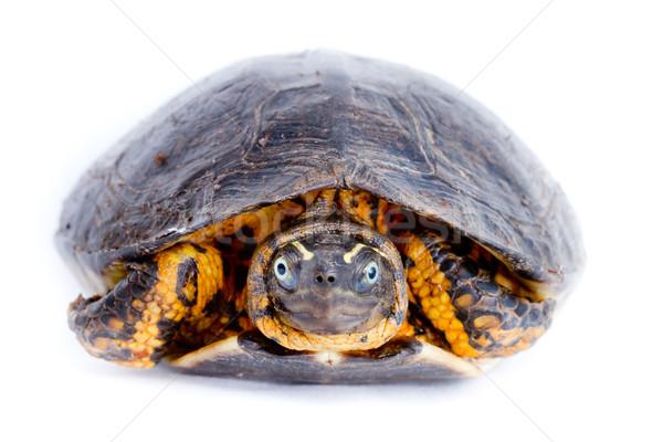 isolated turtle Stock photo © pxhidalgo