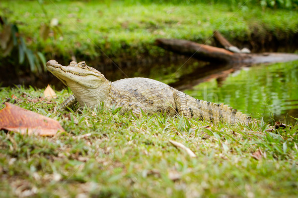 Spectacled caiman (Caiman crocodilus) by the river Stock photo © pxhidalgo