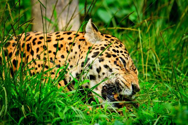 Jaguar еды мяса лице животного быстро Сток-фото © pxhidalgo