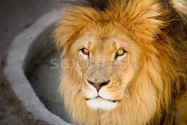 Сток-фото: лев · царя · джунгли · портрет · лице
