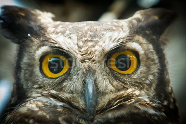 Coruja retrato câmera olho Foto stock © pxhidalgo