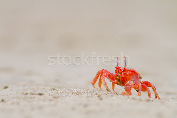 crab feeding on the beach close up Stock photo © pxhidalgo