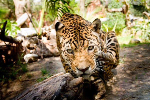 большой мужчины Jaguar прыжки камеры работает Сток-фото © pxhidalgo