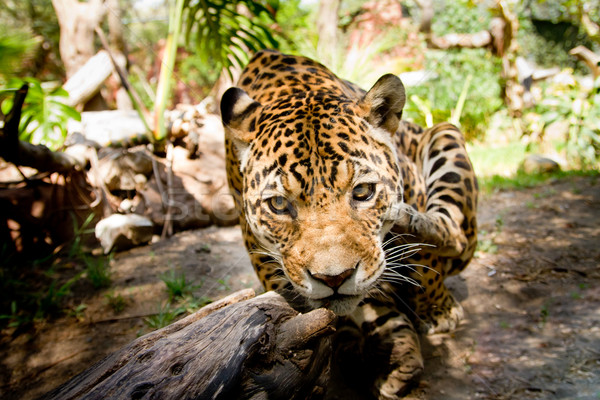 Large male jaguar jumping towards camera Stock photo © pxhidalgo