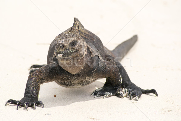 Marinha iguana natureza luz arte Foto stock © pxhidalgo