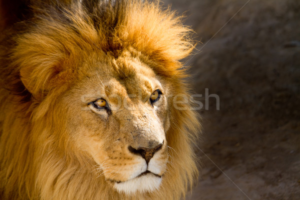 Close Up picture of a male lion staring Stock photo © pxhidalgo