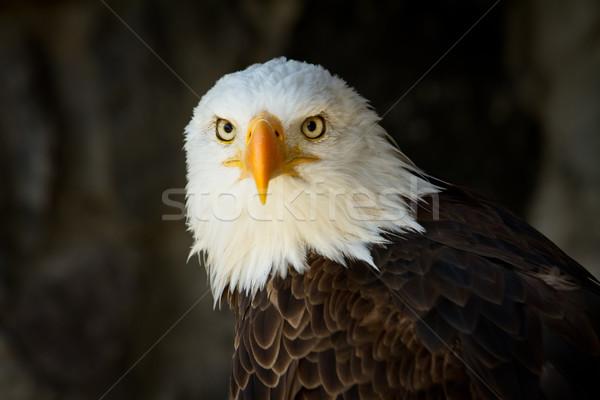 Retrato careca Águia olho Foto stock © pxhidalgo