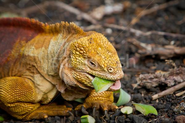 Pomarańczowy iguana warzyw plaży Zdjęcia stock © pxhidalgo
