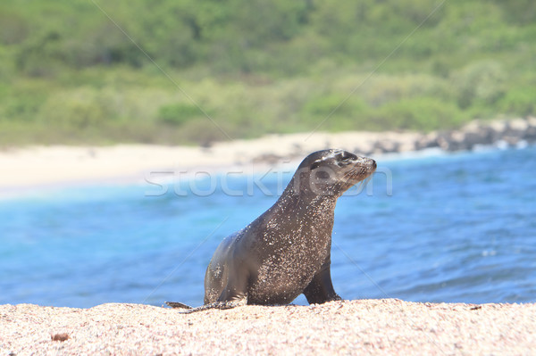 Galapagos baby sea lion close up in the wild Stock photo © pxhidalgo