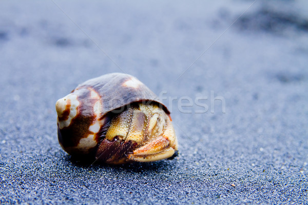 Hermit Crab on black sand close up Stock photo © pxhidalgo