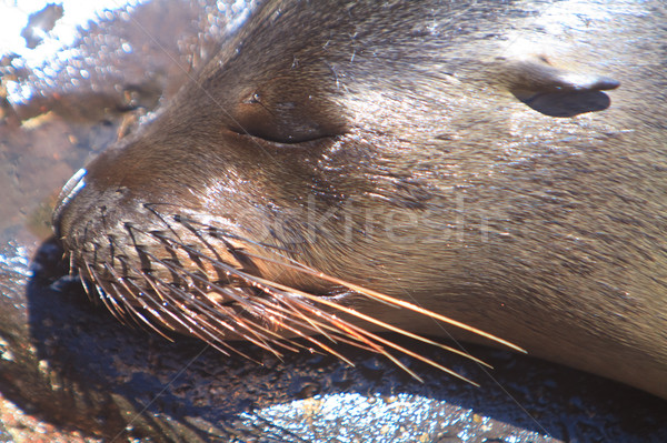 Baby Sea Lion resting on the beach Stock photo © pxhidalgo