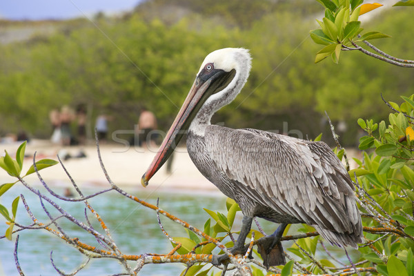 Brown Pelican Stock photo © pxhidalgo