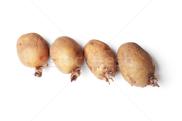Potato tubers ready for planting in a ground Stock photo © pzaxe