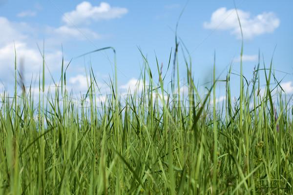 High dense grass against sky Stock photo © pzaxe