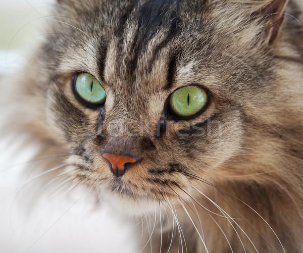 Ordinary cat Stock photo © pzaxe