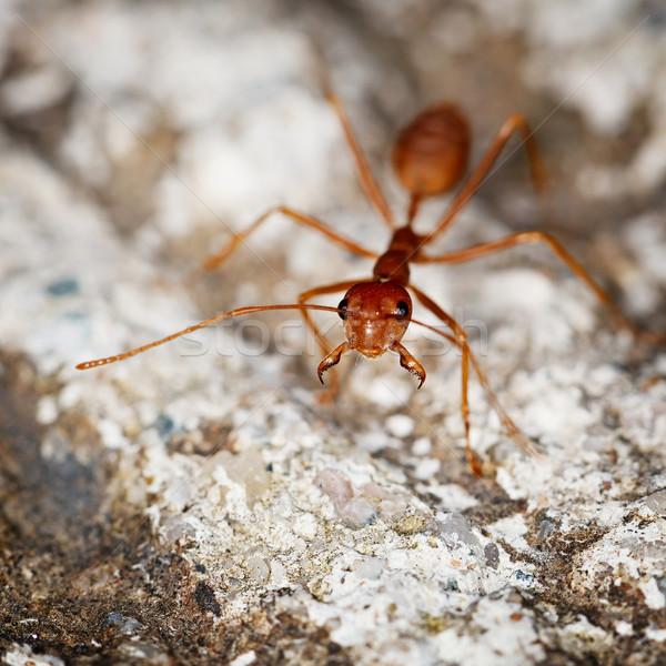 Um formiga pedra verde olho natureza Foto stock © pzaxe